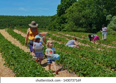 Middlefield, CT / USA - June 9, 2019: Family going strawberry picking at Lyman's Orchards