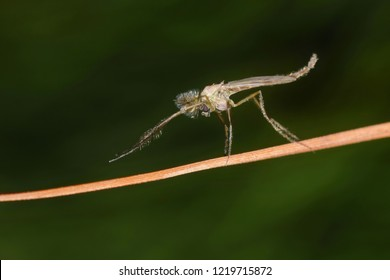 Midge fly (Chironomidae) on a dead plant stem with a dark green nature background.