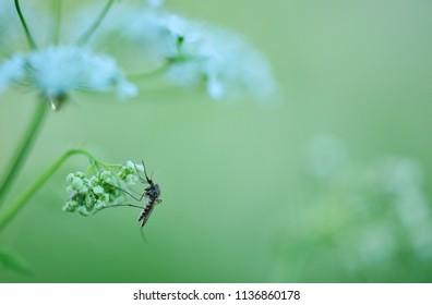 Midge on cow parsley flowers