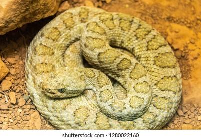 Midget Faded Rattlesnake (Crotalus oreganus concolor)