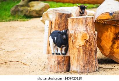 Midget goat standing on wood stump