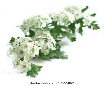 Midland hawthorn (Crataegus laevigata) - blooming isolated