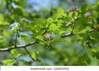 Midland hawthorn Rosea Flore Pleno pink flowers - Latin name - Crataegus laevigata Rosea Flore Pleno (Crataegus oxyacantha Rosea Plena)