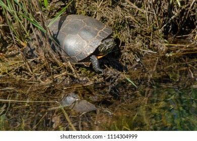 Midland Painted Turtle basking in the sun at the water's edge. Carden Alvar Provincial Park, Kawartha Lakes, Ontario, Canada.