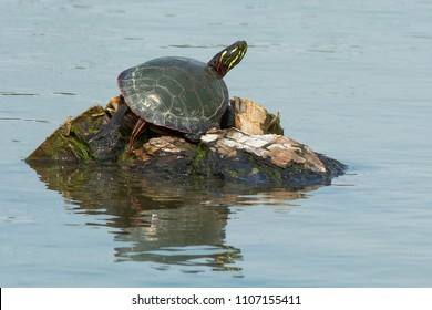 Midland Painted Turtle basking in the warm, spring sunshine on a tiny island in the pond. Rouge National Urban Park, Toronto, Ontario, Canada.