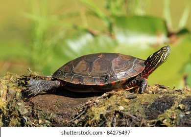 Midland Painted Turtle (Chrysemys picta marginata) Basking on a Log - Old Ausable Channel, Pinery Provincial Park, Ontario, Canada