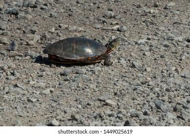 Midland Painted Turtle crossing a gravel road. Carden Alvar Provincial Park, Kawartha Lakes, Ontario, Canada.
