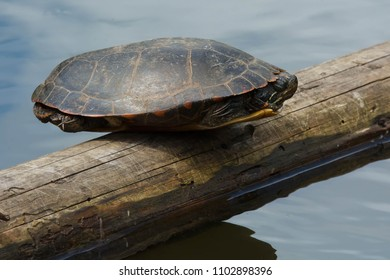 Midland Painted Turtle with its legs and head tucked inside its shell, is perfectly balanced on the log basking in the sun. High Park, Toronto, Ontario, Canada.