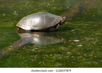 Midland Painted Turtle, resting on a submerged log basking in the sun.High Park, Toronto, Ontario, Canada.