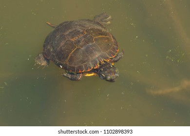 Midland Painted Turtle swimming under the surface of the pond.  High Park, Toronto, Ontario, Canada.