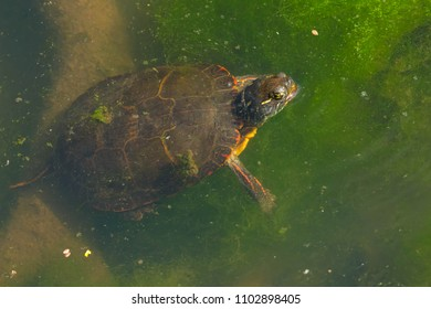 Midland Painted Turtle swimming under the surface of the pond sticking its head out of the water.  High Park, Toronto, Ontario, Canada.