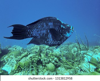 Midnight Parrotfish on a tropical reef system in the Caribbean