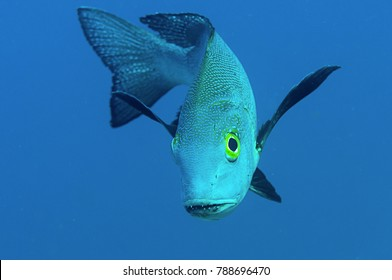 Midnight snapper ( Macolor macularis )  face to face.,  Bunaken island, Indonesia