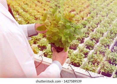 Midsection of male biochemist examining seedlings in plant nursery