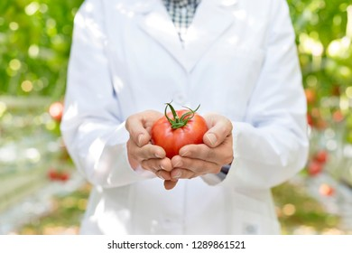 Midsection of scientist holding fresh organic tomato at greenhouse