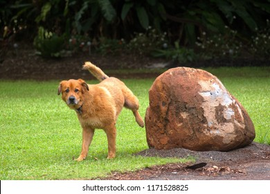 Mid-size dog urinating on a rock, on the Atherton Tablelands in Queensland, Australia
