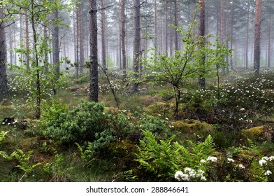 Midsummer morning greenery in the forest at Southern Finland.