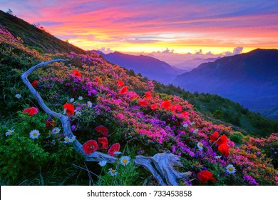 Midsummer scenery of Hehuan Mountain,Red Hairy Azalea, Marguerite and cranpoppy blossom among withered wood with Fiery clouds and silent valley in the Morning twilight is Taiwan aesthetic sense.