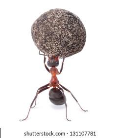 mighty ant holding heavy stone, isolated white background