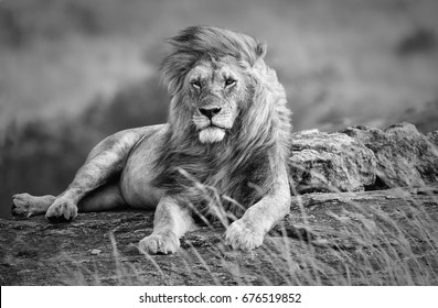 Mighty and beautiful lion resting in the African savannah, black and white, Kenya