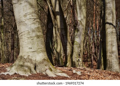 """Mighty beech trees at lake """"Buckow-See"""" in the nature reserve """"Grumsiner Forst"""", part of the UNESCO world heritage site"""