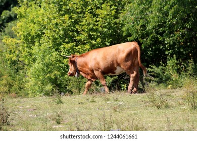 Mighty big light brown cow with large bell around neck walking on top of hill surrounded with green grass and dense trees in background