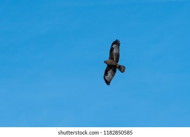 Mighty bird of prey by blue skies - Honey Buzzard, Pernis Apivorus