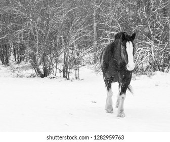 Mighty Clydesdale horse braves the winter storm on the Alberta Prairies