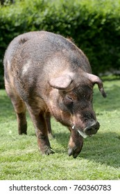 Mighty duroc breed pig eating on meadow