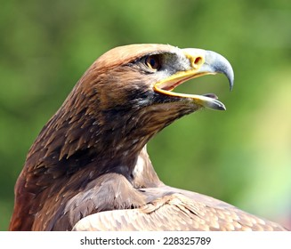 mighty Eagle with its beak wide open