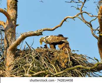 A mighty eagle the feeds the youngsters on the nest caught by the fish. Close-up photo of White-tailed Eagle, Haliaeetus albicilla.
