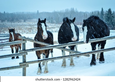 Mighty four Clydesdale brothers wait at the broken fence for their oats