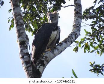 Mighty Harpy Eagle