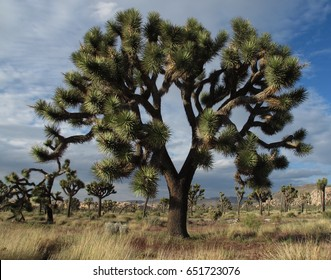 A Mighty Joshua Tree at Joshua Tree National Park