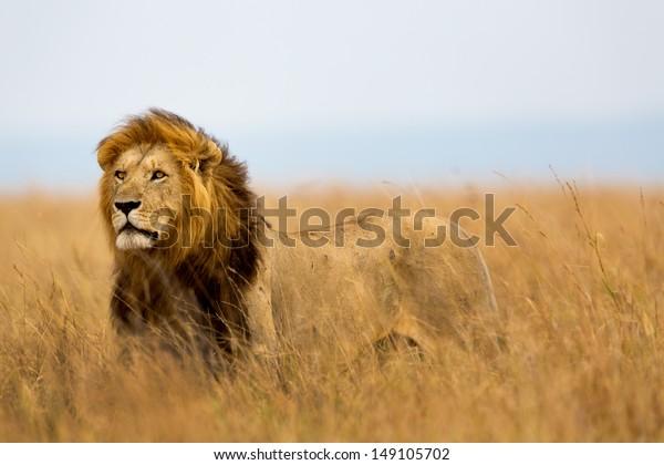 Mighty Lion regarde les lionesses qui sont prêtes pour la chasse à Masai Mara, au Kenya