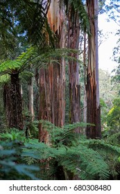 Mighty Mountain Ash Trees dominate lush Tree Ferns in Melbourne's magnificent Sherbrooke Forest.
