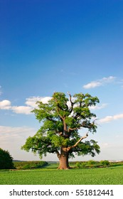 Mighty Oak Tree in Green Field, Spring Landscape under Blue Sky