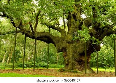 Mighty Oak Tree, Major Oak Tree, Robin Hood's Principle Hideout