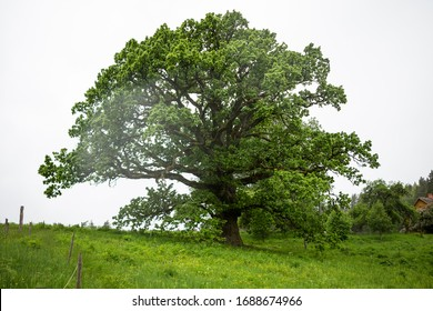 The mighty oak tree in the middle of the meadow