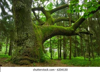Mighty oak in the wood - Mazury, Poland.