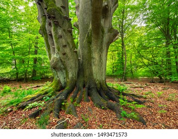 Mighty Old Beech Tree in Green Forest, Moss Covered Roots