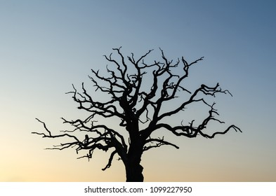 Mighty old oak tree silhouette by a colored sky