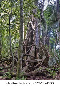 Mighty plate-like roots of forest trees, Amazon, Peru