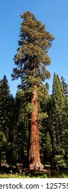 Mighty Sequoia at a Distance