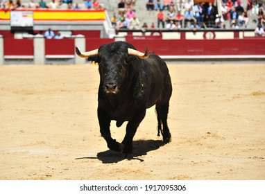 a mighty Spanish bull with a challenging look in a bullring during a bullfighting show