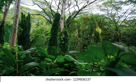 Mighty trees in the lush green Hunger Games forrest on Hawaii