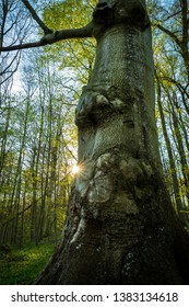Mighty treetrunk in forest at spring with sunstar, Schleswig-Holstein