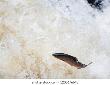 The mighty Wild Atlantic salmon leaping on waterfall on route to spawning grounds during the summer in the Scottish highland.