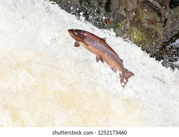 The mighty Wild Atlantic salmon travelling to spawning grounds during the summer in the Scottish highland. The salmon in this picture is leaping up the 
