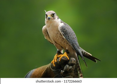 Migrant falcon sitting on falconic gloves. The Peregrine Falcon has the ability to reach speeds over 200 mph making it the fastest animal in the world. Close up of a Peregrine Falcon fastest bird.